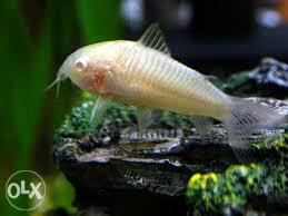 Koridoras albino cistac