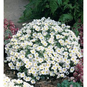 Nierembergia bijela (30 sjemenki)