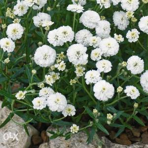 Achillea ptarmica (50 sjemenki)