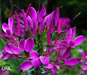 Paukov cvet ljubičasta (60 sjemenki)