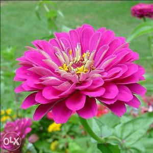 Zinnia el. rozi (20 sjemenki)
