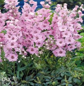 Delphinium rozi - (30 sjemenki)