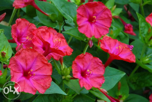 Mirabillis jelapa crveni (20 sjemenki)