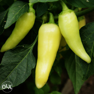 Paprika feferona slatka (30 sjemenki)