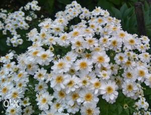 Majčinski vratić (Tanacetum par.) ~1000+ sjemenki