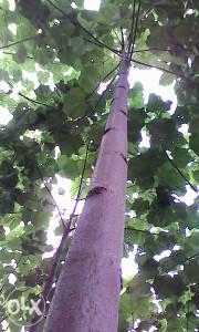 Paulovnija - sadnice ShanTong jednogodišnje korjenje