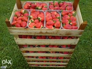 Sadnice jagoda jagode sorta clery 065 580 401