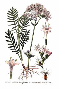 Valerijana, Odoljen, korijen