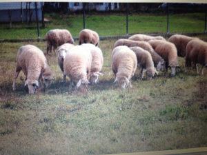 Ovce visoko sjajne mlade