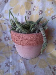 Kaktus terakota