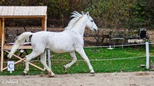 Konj, lipicaner Siglavy Jala XXIII