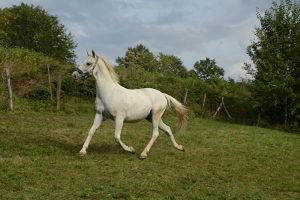 Konj, lipicaner Favory Bregava XLI
