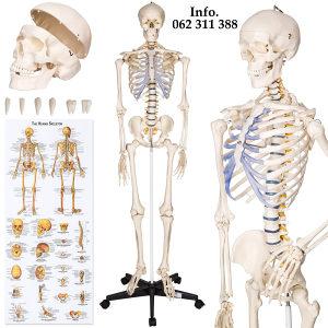 Medicinski skelet kostur Anatomija NOVO