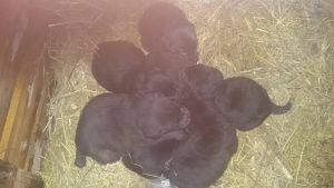 Štenad labradora .. Labrador .. Labradori