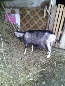 koza skozna jari se početkom aprila