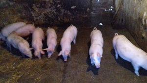 prasci,prasad svinje