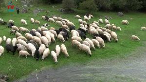 ovce sjajne