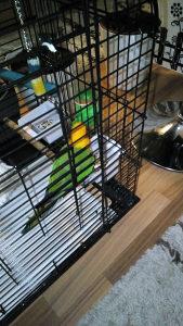Jandaja papagaj rucno hranjen