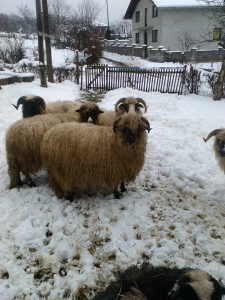 ovce pramenka