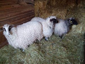 Prodajem 3 mlade ovce