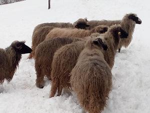 Ovce 8 mlade ovce sjanjne