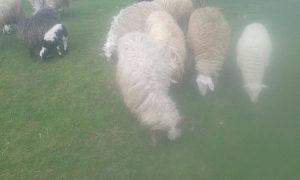 Prodajem ovce za klanja i jagnad