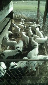 Jaganjci i ovce na prodaju