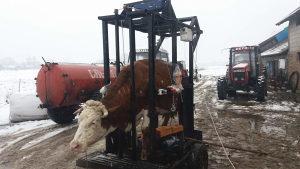 Korekcija i obrada papaka kod krava