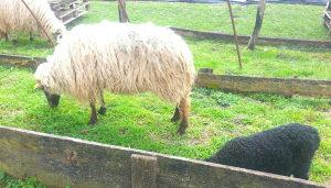 Prodajem ovcu,ovca(ovce) i janje,jagnje