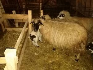 Ovce sa janjcima i sjajne
