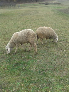 Prodajem ovcu vintemberg i ovna vintemberg