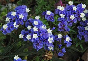 Limonium sinuatum plava - (50 sjemenki)