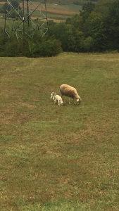 Ovce i janjad