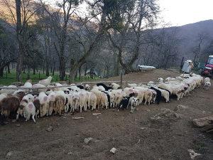 Jagnjadi janje jagnje