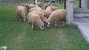 Ovce od 150-170km