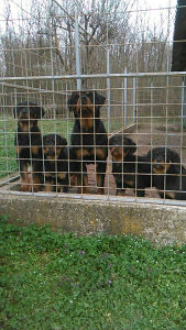 Štenci Rottweiler