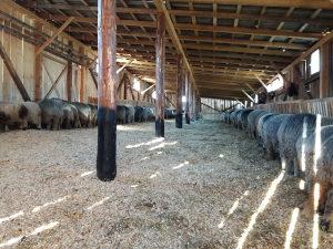 Prodajem 30 komada ovaca
