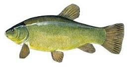 Linjak ribe poribljavanje ziva riba ribolov mladj