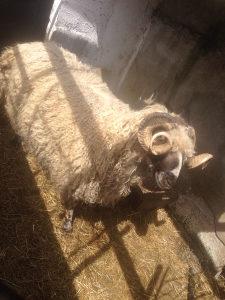 Ovan ovce