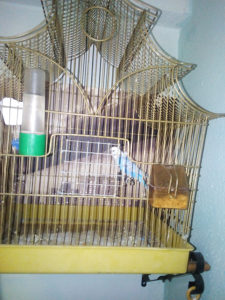 Papagaj Tigrica