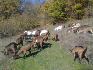 koze sa jaradima
