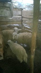 prodajem ovcu,cijena nije fiksna