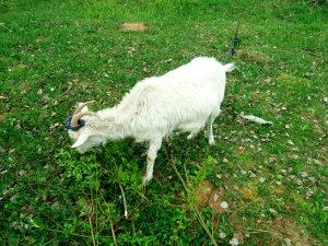 Koza koza