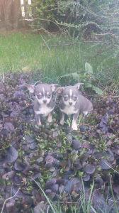Čivava štenci