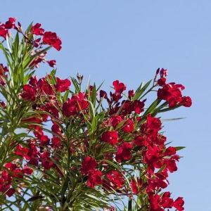 Oliander crveni sjeme (nerium oleander) oleander