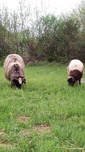 Ovca i Janje - 28 kg