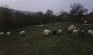 Ovce janjci PRODAJA