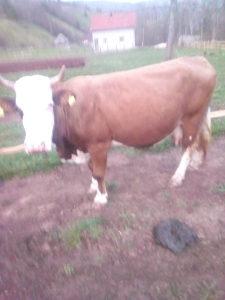 Krava sarava za drzati