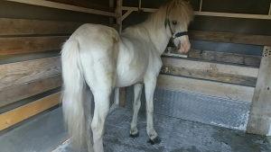 Konj Pony