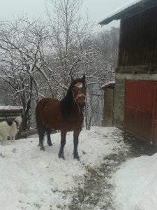 Konj zdrijebac 2zuba